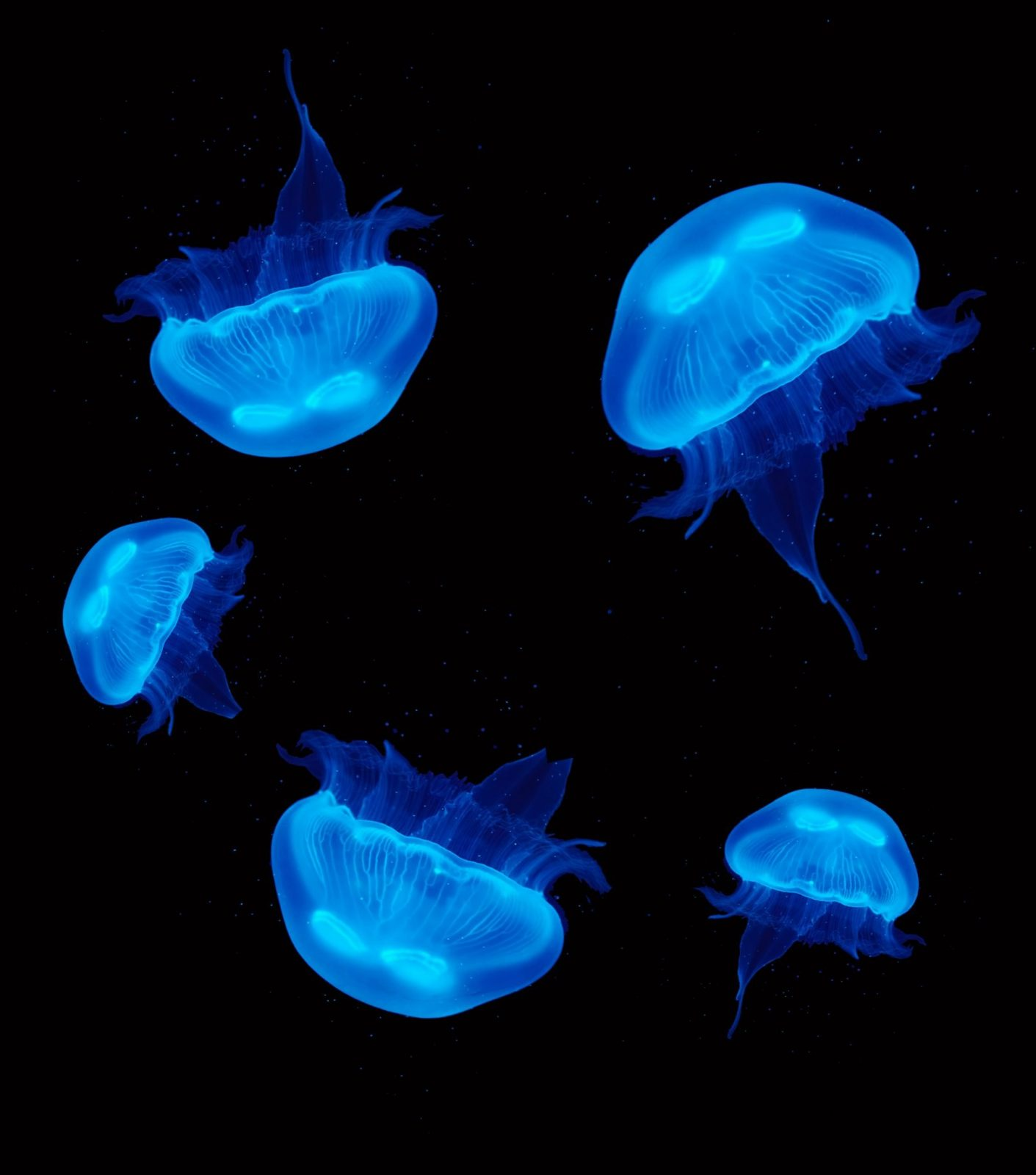 5 Pet Moon Jellyfish