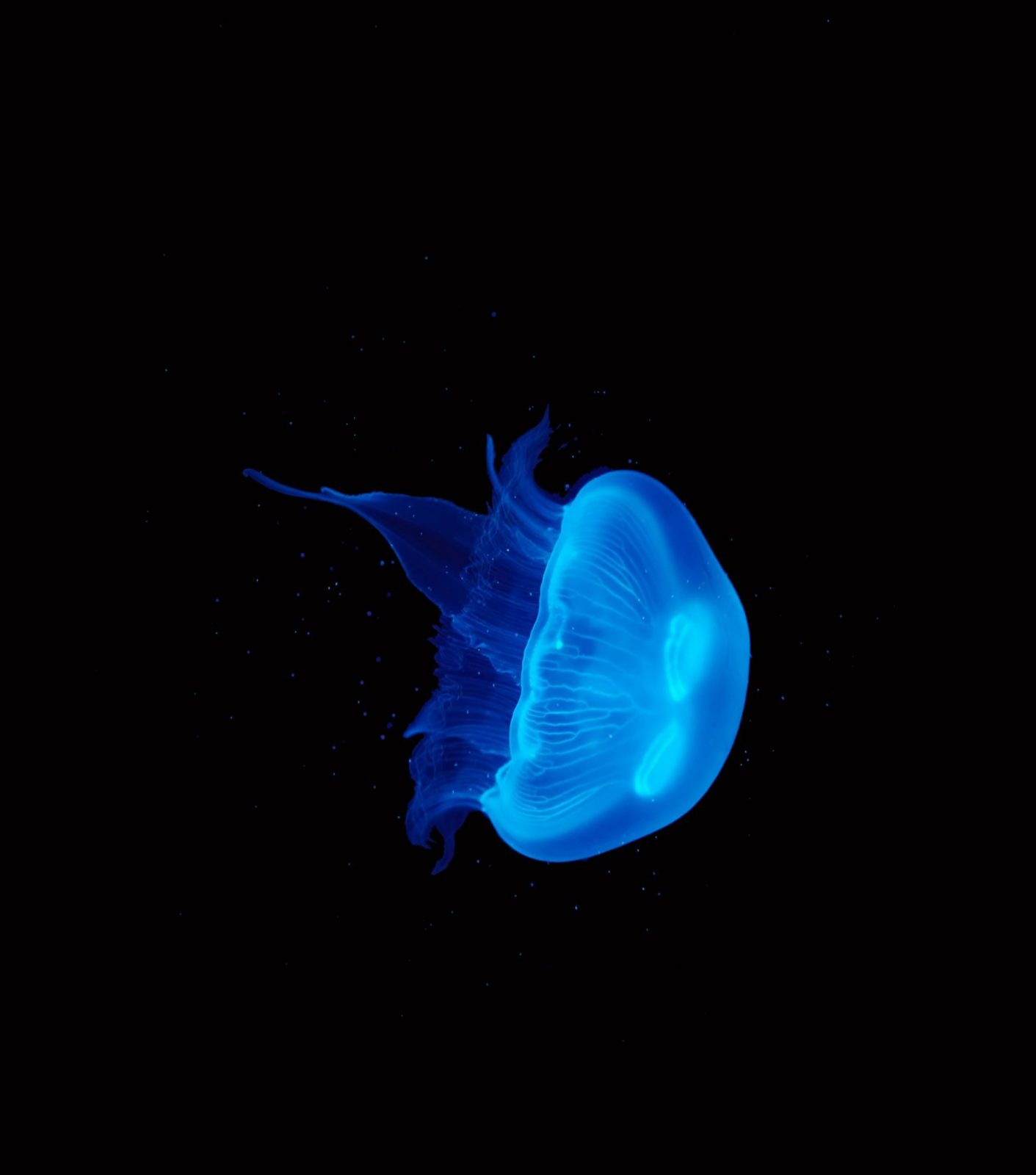 Medium Moon Jellyfish